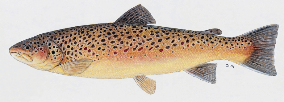 The Wild Trout Association